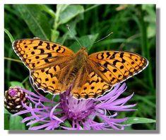 Butterflies of Scotland - Dark Green Fritillary Beautiful Butterflies, Moth, Scotland, Butterfly, Dark, Green, Design, Ant, Dragon Flies