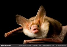 A pallid bat (Antrozous pallidus) at the North Carolina Zoo, Asheboro, North Carolina. The bats are actually the best part of that zoo.
