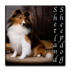 """Sheltie - Shetland Sheepdog Tile Coaster by CafePress . $10.50. Dishwasher safe. Four felt pads protect your furniture from scratches. 4.25"""" x 4.25"""" and 1/6-inch thick. Ceramic. Not for use with abrasive cups and mugs. Sheltie - Shetland Sheepdog"""
