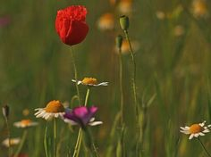 Poppies and others Photo by József Király — National Geographic Your Shot