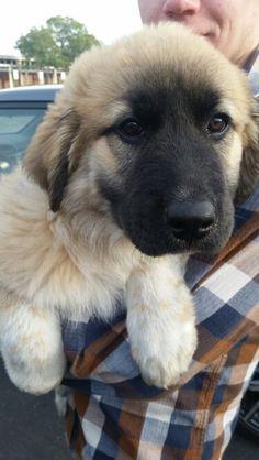 Tibetan Mastiff/German Shepard Mix