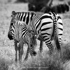 Baby Zebra - Chris Grech Photography