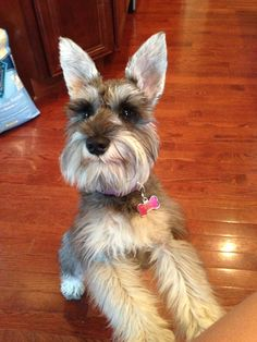 "Click visit site and Check out Cool ""Miniature Schnauzer"" T-shirts. This website is top-notch. Tip: You can search ""your name"" or ""your favorite shirts"" at search bar on the top."