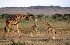 #Girafes, #Serengeti