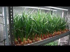 Выращивание зеленых на гидропонике 655