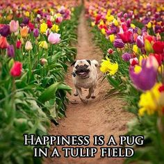 How can u not be a happy pug running through tulips?