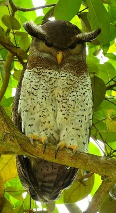Amazing barred eagle owl. Tropical Asia