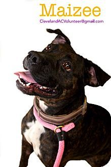 ADOPTED!!! Cleveland, OH - Pit Bull Terrier Mix. Meet Maizee-Urgent!!, a dog for adoption. http://www.adoptapet.com/pet/11625871-cleveland-ohio-pit-bull-terrier-mix