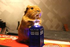 Giant hamster on the tardis wheres the doctor inside making the tardis invisible Cute Guinea Pigs, Guinea Pig Care, Dumb Animals, Animals And Pets, Cutest Babies Ever, Cute Piggies, Little Critter, Animals Of The World, Tardis
