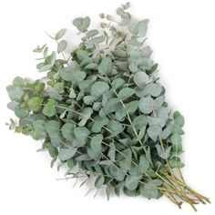 A fresh green flower, True Blue Eucalyptus is an aromatic filler with a long vase life. Similar to the Baby Eucalyptus Flower, True Blue variety features slightly larger rounded leaves that run up lateral stems. This unique greenery adds height and texture to dramatic bridal bouquets or centerpieces.