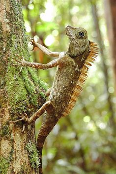 Gonocephalus borneensis, Danum Valley, Sabah   Flickr - Photo Sharing! Rainforest Insects, Beautiful Snakes, Borneo, Amphibians, Old World, Mother Nature, Giraffe, Old Things, Creatures