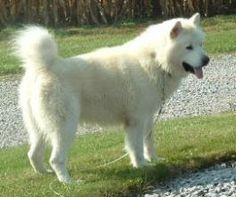 White Alaskan Malamute. My cousin had one, but had it in the house. OMG! When someone would come to the door it went ape. Then it ate another dog. If you have one, don't keep it in the house!