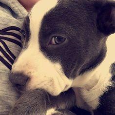 Happy national puppy day today is suppose to be able loving puppies not giving them shots!  #13weeks #vaccination #needles #momsmean #stinkeye # #princess #pitbullmom #pitbullofig #pitbullpride #pitbulladvocate #pitbullsofinstagram #teamfloppyears #thing2 #tard2 #apbt #alberta #apbtmix #apbtlove #yeg #yegpitbull #dogsofcanada #dogsofinstagram #flopdontcrop } Photo : http://ift.tt/1Um2oPZ