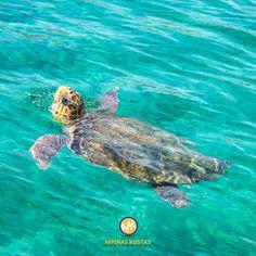 sea turtle Carey's Carey's  Θαλάσσια χελώνα