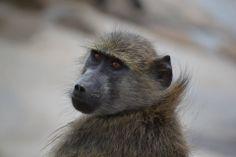 Aapjes - Kruger national parc