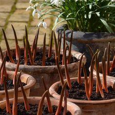 """Polubienia: 459, komentarze: 13 – Mette Fauerskov (@mettebfauerskov) na Instagramie: """"Tulipa turkestanica 🌱Det er et lykketræf at tulipanerne er landet i rødlige krukker, der matcher…"""""""