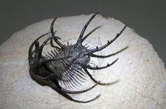 Fossil of the trilobite genus Ceratarges, found in the Devonian (about 360 million years old) Hamar Laghdad Formation near Alnif, Morocco. Fossil is about 6 cm in length. Collection of the Sauriermuseum Aathal, Aathal, Switzerland.