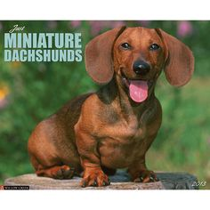 Just Miniature Dachshunds Wall Calendar: Miniature Dachshunds are tiny dogs packed with personality. Twelve charming photographs celebrate their high-spirits, lovability and loyalty.  $13.99  http://calendars.com/Dachshunds/Just-Miniature-Dachshunds-2013-Wall-Calendar/prod201300002923/?categoryId=cat10026=cat10026#