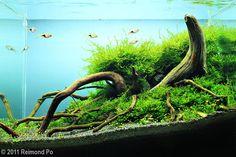Tank Size51 x 25 x 30 cm (20 x 9.8 x 12 in)  Volume38L (10 gallons)  Lighting1x 36w PL  FiltrationHang-on filter  Additional  InformationPressurized Co2   TitleMangrove  PlantsSpiky moss, Willow moss, Marsilea hirsuta, UG (small clumps)  Fish/AnimalsRasbora Espei, Shrimps, Pipefish  Decorative  MaterialsMangrove, Volanic Black sand