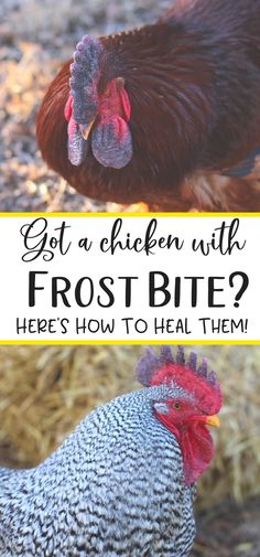 Worried your chickens are suffering from frostbite? Frostbite treatment is easy when you can spot it. Here's what you need to know. #chickens #backyardchickens