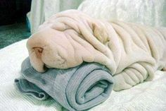 Is it two towels??  Oh wait, is it Mr. Wrinkles laying on one towel?  This is Adorbs!!