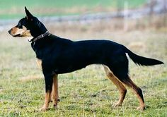Australian stock dog/working kelpie | Origin: Australia