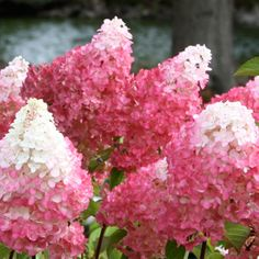 Vanilla Strawberry Hydrangea The brightest pink of any panicle hydrangea. Flowers open as a white and will turn to bright pink. They are very large and more rounded bloom shape that compares more to the limelight hydrangea. Vanilla Strawberry is the most talked about new hydrangea, and for good reason.