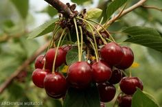 Wiśnia Łutówka