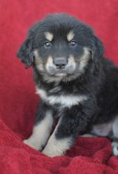 Red Sox is an adoptable Shepherd Dog in Manchester, NH. 4/23/12 Cub, Dodger, Tampa, Yankee, Phillie, RedSox, Giant and Oriole are 9 week old Shepherd/Lab mixes. If you are interested in finding out mo...