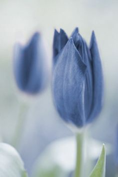 blue and white tulips