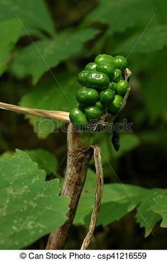 Stock Photo - Green Jack in the Pulpit Berries - stock image, images, royalty free photo, stock photos, stock photograph, stock photographs, picture, pictures, graphic, graphics