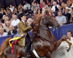 The American Saddlebred : WCG Courageous Lord