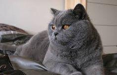 Resultado de imagen para gato britanico pelo corto