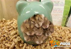 #hamsters #gerbille #rongeurs #animalerie #zoomalia http://www.zoomalia.com