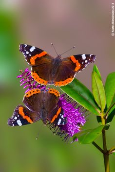 """""""Dual"""" Red Admiral butterflies -- by Kostas Nianiopoulos Beautiful Bugs, Beautiful Butterflies, Butterfly Kisses, Mariposa Butterfly, Chenille, Beautiful Creatures, Animal Kingdom, Wildlife, Cute Animals"""