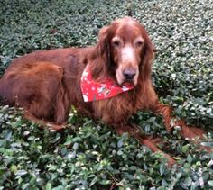 Moose is our 10 year old Irish Setter and not only does he get up and down better since we started giving him Liquid-Vet Holistics Dog Joint Formula, he eats better because he loves the taste! Harley is our younger mixed terrier and we give it to him simply because he is so active. This product is so much better and easier to use than trying to force tablets down their throats! Thank you for making it easy to take great care of our precious pets! - Pam W., Lutz, FL