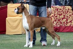 Boxer Dogs, Boxers, Dog Show, Dog Pictures, Happy New, Liquor, Pitbulls, Rocks, Alcohol