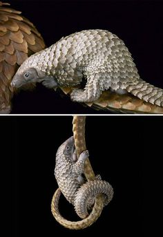White-Bellied Pangolin Photographer Spends Years Taking Photos Of Endangered Animals, They're Heartbreakingly Beautiful Extinct Animals, Rare Animals, Animals And Pets, Funny Animals, Animal Facts, Animal Memes, Beautiful Creatures, Animals Beautiful, Wild Animals Photography