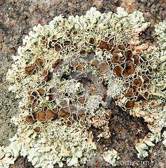 Crusty Lichen algae texture by Christine Samuel, via Dreamstime