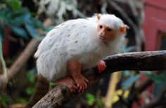 Gold-and-White Marmoset  - Micro chrysoleuca - This New World monkey is of the family Callitrichidae and is one of the least documented monkeys in the world. It is incredibly rare and lives only in a very small and precise area in the Amazon rainforests of Brazil
