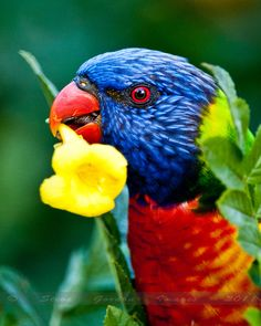 A funny parrot can be so cute. Check out these funny parrot videos. Contains some funny parrots dancing, some funny parrots talking or better said, imitating, Tropical Birds, Exotic Birds, Colorful Birds, Pretty Birds, Beautiful Birds, Animals Beautiful, All Birds, Love Birds, Australian Parrots