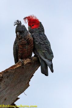 A walk around Red Hill Nature Reserve on Saturday, 15 September 2018 - more Gang-gangs! — Birds in Canberra Australian Parrots, Bird People, Common Birds, Reptiles, Australia Animals, Cockatoo, Watercolor Animals, Colorful Birds, Bird Art