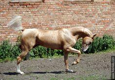Akhal-teke horses for sale - Rehber(Piastr - Rapsodia)