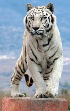 Another beautiful white tiger.