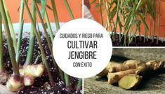 Cuidados y riego para cultivar Jengibre con éxito