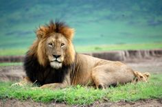 Lion in Ngorongoro Crater, one of Tanzania's many wildlife parks