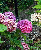 Growing & Pruning Hydrangeas -  This page covers everything you need to know about your hydrangeas.