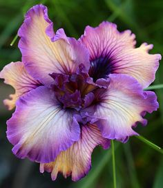 Iris douglasiana 'PB&J'. Native to CA, these Irises can deal with no Summer water once established & grow well under Oaks.