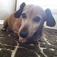 Available pets at Central Texas Dachshund Rescue in Humble, Texas Shelter Dogs, Animal Shelter, Rescue Dogs, Animal Rescue, Pet Dogs, Dogs And Puppies, Dog Cat, Pets, Dachshund Adoption