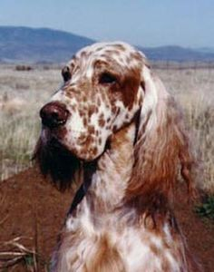 English Setter 'Hadji'  Dual CH Set'r Ridge's Solid Gold CDX MH